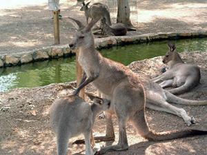 Парк кенгуру